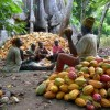 Cocoa farmers educated on CSSVD