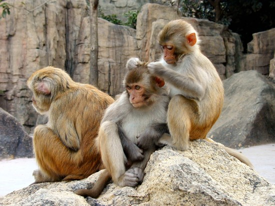 Rhesus_Macaques_4528