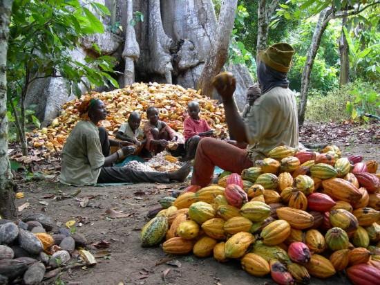 des-resultats-de-recherche-sur-la-culture-du-cacaoyer