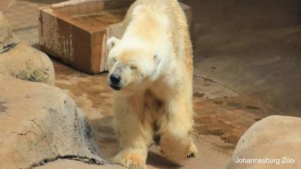 961014497-Last-Polar-Bear-In-Africa-Passes-Away