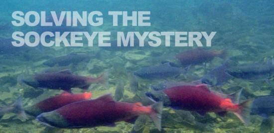 solving_sockeye_mystery