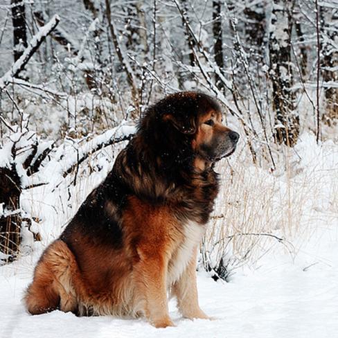 tibetan-mastiff_ph