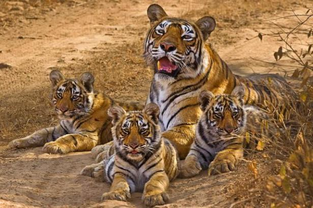 NTCA says, Tiger Census Correct, rebuts Oxford Researchers' claim
