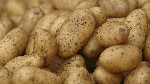 potato_pile-590x332