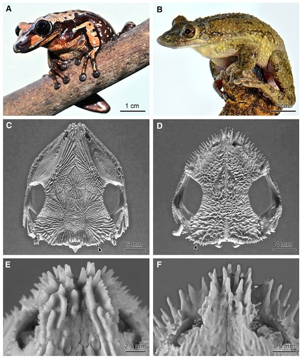 Heads Of Brazilian Frogs Use Their Venomous Weapons