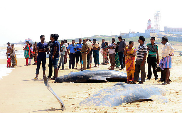 Forty-Five-Whales-Die-After-Beaching-Themselves-On-Southern-Beach
