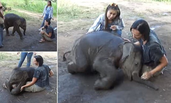 Playful baby elephant sits on womans lap in Thailand