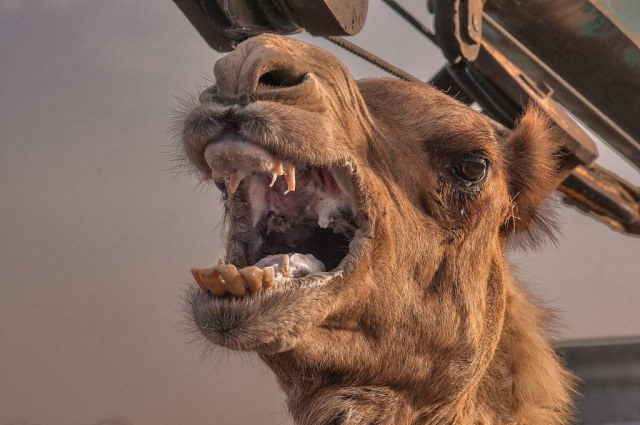 Camel Bites Owner Head Off After Being Tied Up All Day During Heatwave