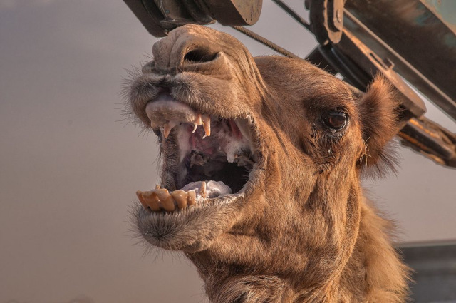 Camel-Bites-Owner-Head-Off-After-Being-Tied-Up-All-Day-During-Heatwave
