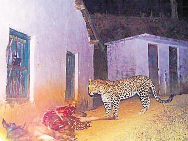 Social media users vent anger on rising human-leopard conflicts in Dwarahat Almora