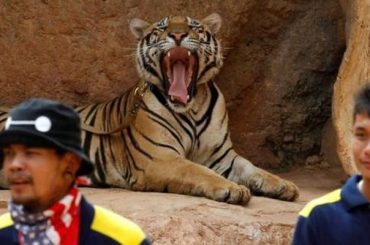 Big Cats Removed From Thailand Tiger Temple