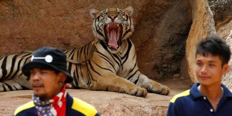 Big-Cats-Removed-From-Thailand-Tiger-Temple
