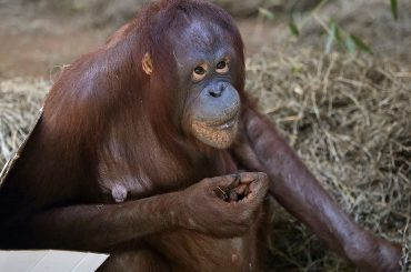 National Zoo Orangutan Is Confirmed Pregnant In Live Ultrasound On Facebook