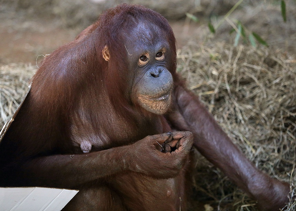 National-Zoo-Orangutan-Is-Confirmed-Pregnant-In-Live-Ultrasound-On-Facebook