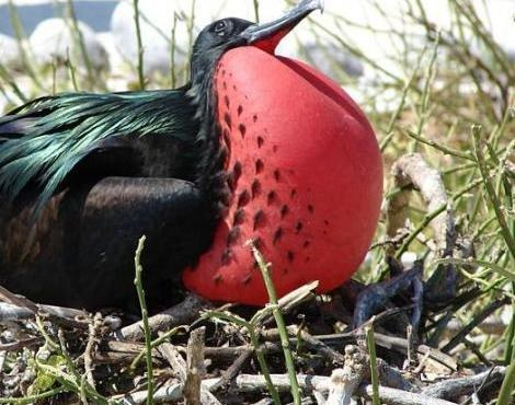 Frigate birds fly nonstop for months