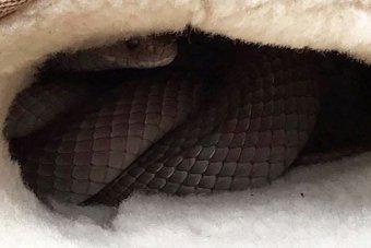 australian-woman-finds-eastern-brown-snake-in-ugg-boot