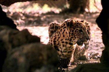 Leopard burned alive in India village