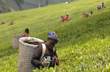 Growing Production costs a threat to Kenya Tea Industry